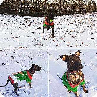 Terrier (Unknown Type, Medium)/Boxer Mix Dog for adoption in Lees Summit, Missouri - KC (formerly Casey)