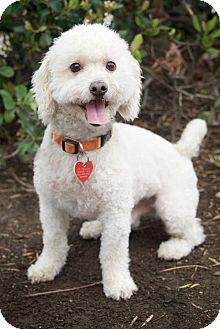 Bichon Frise Dog for adoption in Van Nuys, California - Yankee