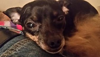 Chihuahua Dog for adoption in Longview, Washington - BLACKIE