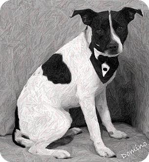 Labrador Retriever/Terrier (Unknown Type, Medium) Mix Dog for adoption in Dalton, Georgia - Domino