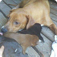 Adopt A Pet :: Chanel and babies - Chiefland, FL