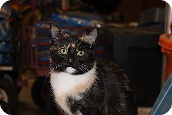 Domestic Shorthair Cat for adoption in Maxwelton, West Virginia - Snickers