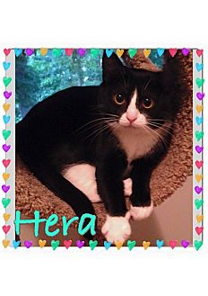 Domestic Shorthair Cat for adoption in Newnan, Georgia - Hera