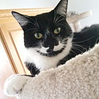 Domestic Shorthair Cat for adoption in Alameda, California - Barney