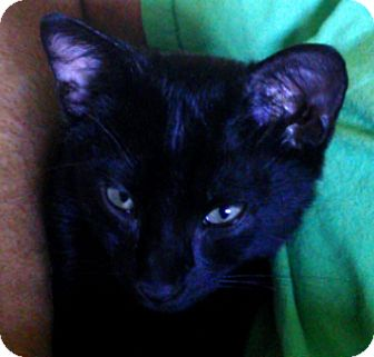 Domestic Shorthair Kitten for adoption in Kennedale, Texas - Chico