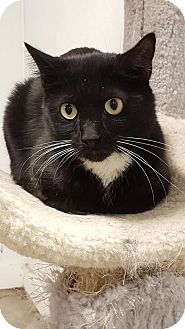 Domestic Shorthair Cat for adoption in Hawk Point, Missouri - Captain Huggy Face