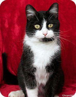 Domestic Shorthair Cat for adoption in St Louis, Missouri - Harold