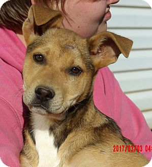 Husky/Labrador Retriever Mix Puppy for adoption in Burlington, Vermont - Gemma (15 lb) Video!
