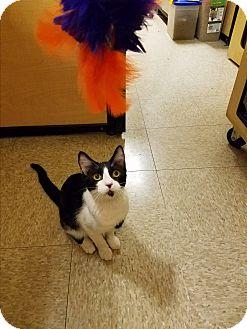 Domestic Shorthair Cat for adoption in Kalamazoo, Michigan - Peace - PetSmart