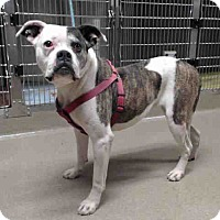 Adopt A Pet :: A5052800 @ Palmdale Shelter - Beverly Hills, CA