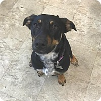 Adopt A Pet :: Omlette - Chicago, IL