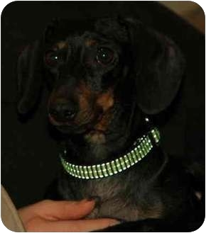 Dachshund Mix Dog for adoption in Portland, Oregon - Little Momma