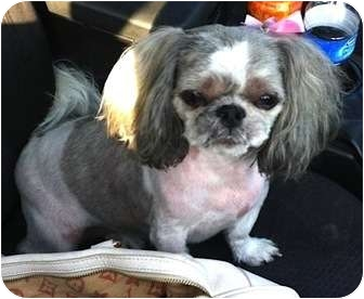 Shih Tzu Dog for adoption in Encino, California - Lucy