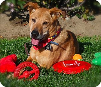 Labrador Retriever/Shepherd (Unknown Type) Mix Dog for adoption in Van Nuys, California - ALFIE