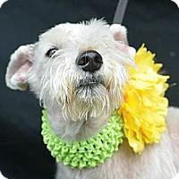 Adopt A Pet :: Popsicle - Plano, TX