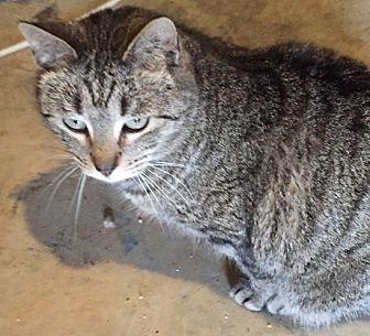 Domestic Shorthair Cat for adoption in Morganton, North Carolina - Mr. Bates