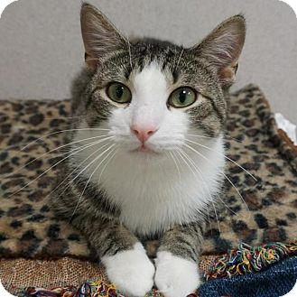Domestic Shorthair Cat for adoption in Naperville, Illinois - Boots