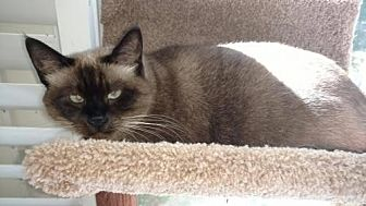 Siamese Cat for adoption in Atlanta, Georgia - Savannah