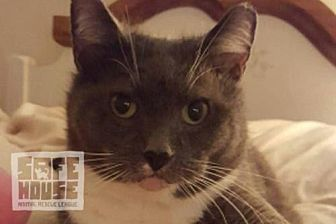 Domestic Shorthair Cat for adoption in Dalzell, Illinois - Hailey Gray