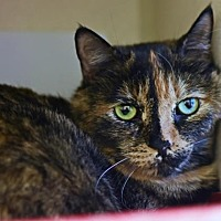 Adopt A Pet :: Michonne - Denver, CO