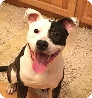 Pit Bull Terrier/American Bulldog Mix Dog for adoption in Alexandria, Virginia - Koby