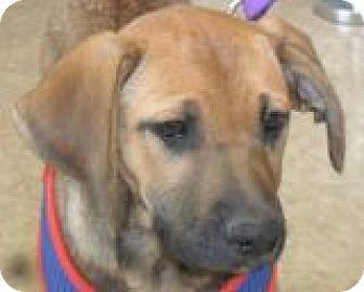 Gordon Setter/Labrador Retriever Mix Dog for adoption in Grand Saline, Texas - Reba