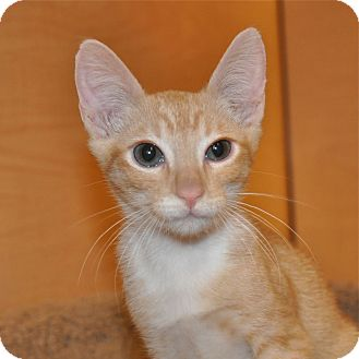 Domestic Shorthair Kitten for adoption in Foothill Ranch, California - Roo