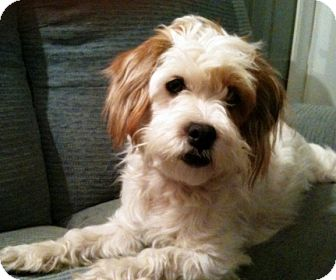 Lhasa Apso Mix Dog for adoption in Toronto, Ontario - Viktor