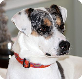 Labrador Retriever/Australian Shepherd Mix Dog for adoption in Groton, Massachusetts - Reuben