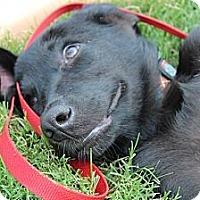 Adopt A Pet :: Gunner - Somers, CT