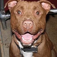 American Bulldog Mix Dog for adoption in Fort Madison, Iowa - Tank