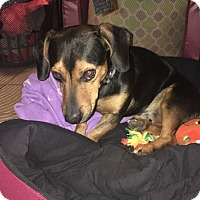 Adopt A Pet :: Obi Wan Kenobi - Las Vegas, NV