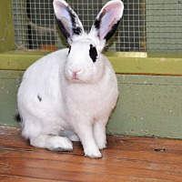 Blanc de Hotot Mix for adoption in Pine Bush, New York - Aerial
