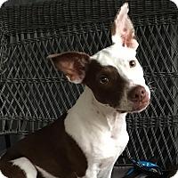 Adopt A Pet :: Maple-Key West - Homestead, FL