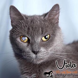 Domestic Shorthair Cat for adoption in Broadway, New Jersey - Viola