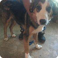 Adopt A Pet :: Holly meet me 6/2 - Manchester, CT