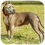 Photo 1 - American Pit Bull Terrier Mix Dog for adoption in Orlando, Florida - Maia