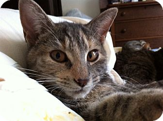Domestic Shorthair Cat for adoption in Horsham, Pennsylvania - Meatball