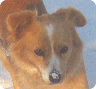 Border Collie/Chihuahua Mix Dog for adoption in Hillsboro, Ohio - Zoe