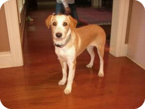Terrier (Unknown Type, Small)/Jack Russell Terrier Mix Puppy for adoption in Russellville, Kentucky - Scottie