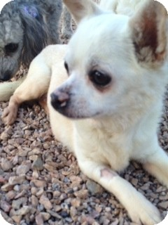 Chihuahua Mix Dog for adoption in Las Vegas, Nevada - Frank