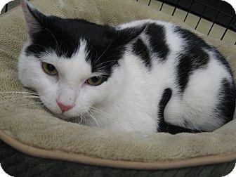 Domestic Shorthair Cat for adoption in New york, New York - Tarni