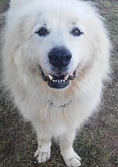 Great Pyrenees Dog for adoption in Claremont, North Carolina - Sam