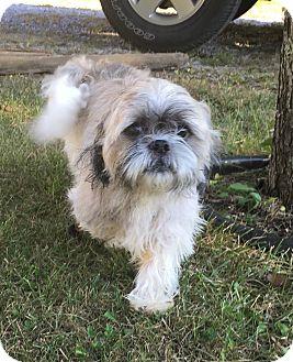 Shih Tzu Mix Dog for adoption in Hazard, Kentucky - Oreo