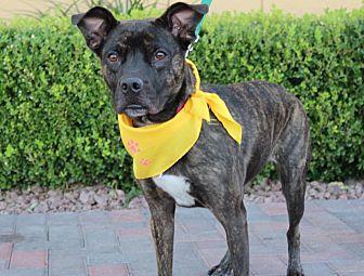 Mountain Cur/Boxer Mix Dog for adoption in Las Vegas, Nevada - JOPLIN