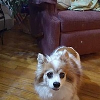 Papillon Dog for adoption in Sandown, New Hampshire - Patches (Papillon) Maine