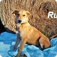 Adopt A Pet :: rufus in CT - Manchester, CT
