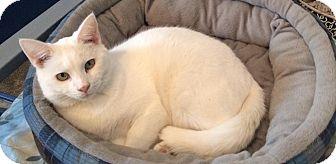 Domestic Shorthair Cat for adoption in Transfer, Pennsylvania - Casper