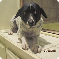 Labrador Retriever/Kerry Blue Terrier Mix Dog for adoption in La Mesa, California - BELLA