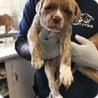 Adopt A Pet :: Willow's Sage - Chantilly, VA